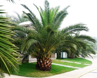 "Phoenix canariensis ""Big Fruit"""